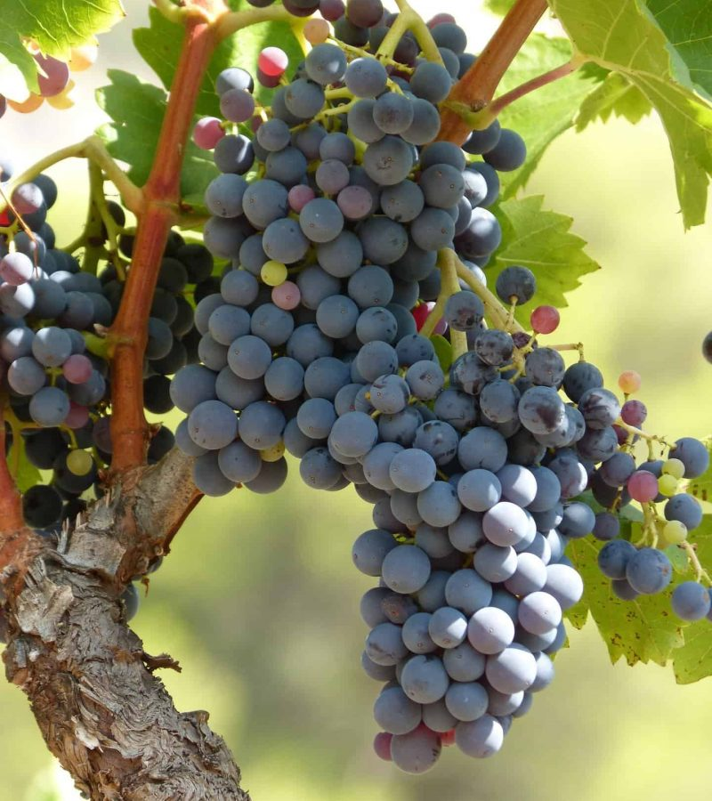 vineyard-3631847_1920 (1)